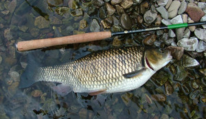 Huge chub caught on horsehair line