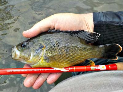 This 9-inch Green Sunfish put a serious bend in the Tenryu Furaibo TF39.
