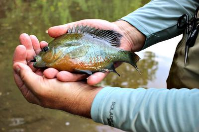 When nothing else will cooperate, Redbreast Sunfish (Yellow Bellies) will usually bite.