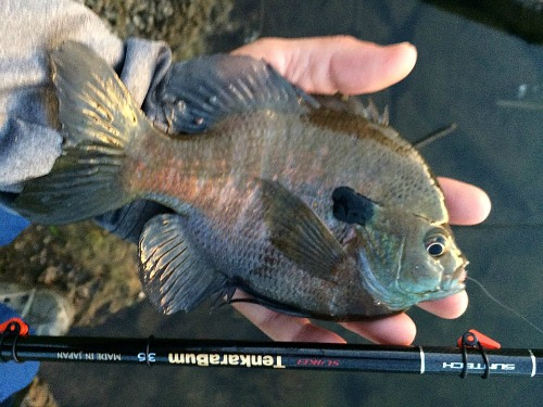 Angler holding large bluegill and TenkaraBum 36