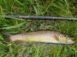 Brown trout alongside Keiryu Special 53
