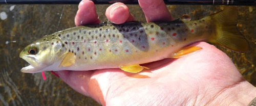Angler holding small brown trout