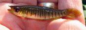 Lined Topminnow - atenkley