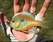 longear sunfish - JChico