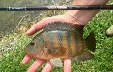 Angler holding Mayan Cichlid and TenkaraBum 36