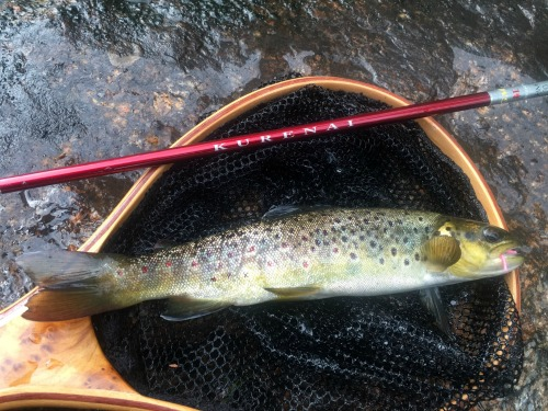 Brown trout in the net, Pink Chenille worm in its mouth