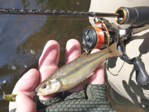 Creek chub caught with a micro spoon.