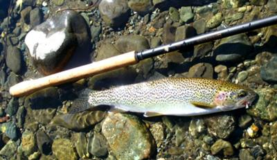 Typical Rainbow Trout for Vancouver Island mountain streams.
