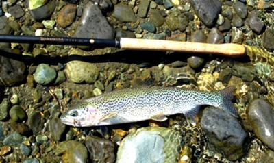 Typical Cutthroat Trout for Vancouver Island mountain streams.
