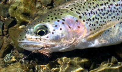 Mountain Stream Trout Love Deer Hair Dry Flies