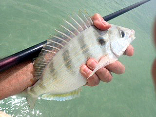 Big Pinfish, close to their upper limit