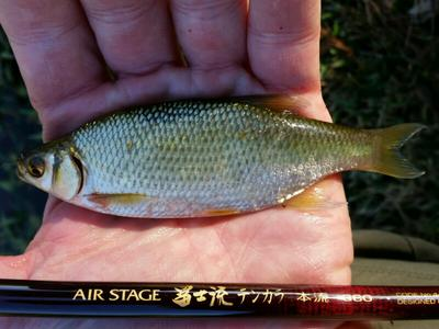 Golden Shiner