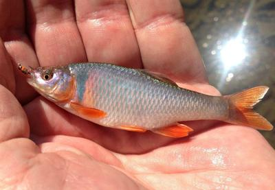 Red Shiner, spawning male