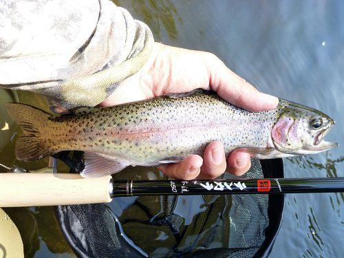 Rainbow trout and Nissin Zerosum Oni Honryu 450
