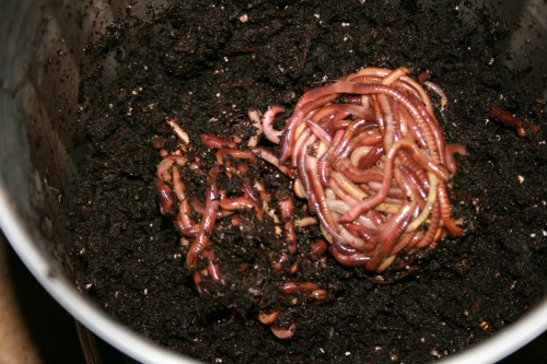 Red wigglers put into the pail, on top of the bedding