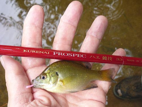 Angler holding small bluegill sunfish and Suntech PROSPEC 33