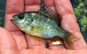 pumpkinseed-sunfish-atenkley