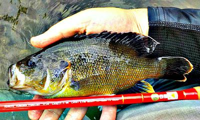 This Overgrown Green Sunfish was a Blast on the TF39!