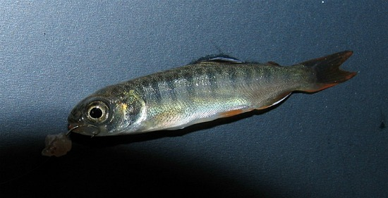 rainbow trout atenkley