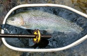 rainbow trout - BPencek