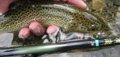 rainbow trout - daryl m