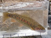 rainbow trout - goneflyfishing