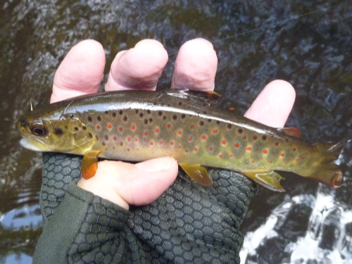 Angler holding trout with red spots on and below lateral line