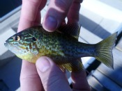 Redbreast sunfish - davidl