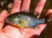 Redbreast sunfish - kkortemeier