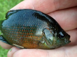 Redspotted Sunfish - Jeff R, Texas