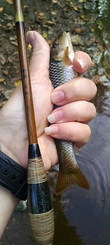 Anglerholding Nissin Sasuke and fallfish