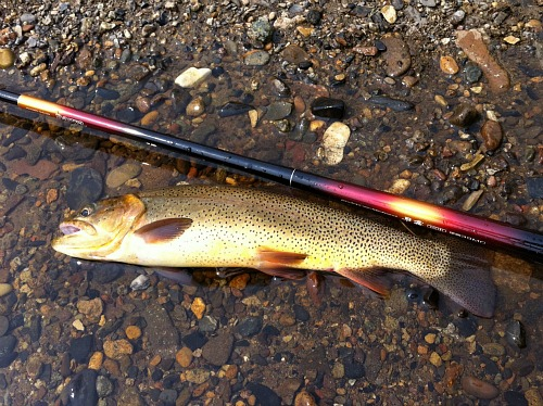 Cutthroat trout alonside Daiwa Sagiri