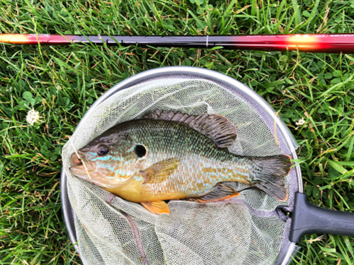 Green sunfish in net with Daiwa Sagiri