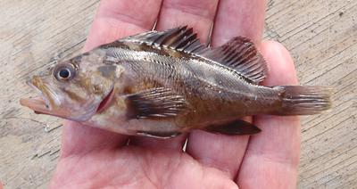Juvenile rockfish, unknown species