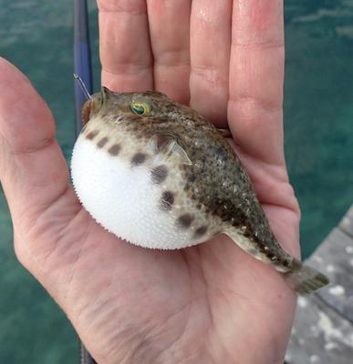 Bandtail Puffer a puffing