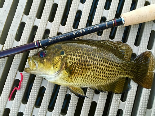 Rock Bass are such scrappy fighters. Perfect for tenkara rods.<br>Sean R photo