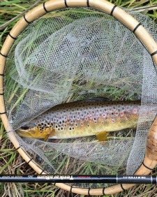 Brown trout in the net