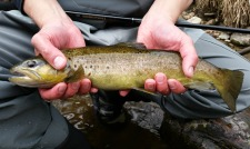 Angler holding brown trout