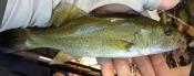 smallmouth bass - jchico