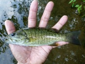smallmouth bass- thelifeamphibious