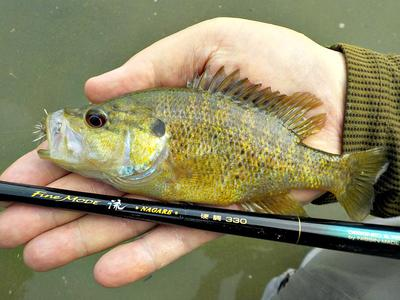 Green sunfish strike like you owe them money