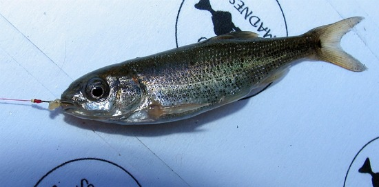speckled dace - atenkley