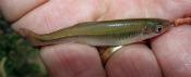 Spotfin Shiner - atenkley