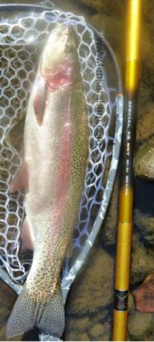 Twenty inch rainbow trout alongside Suntech SST salmon rod