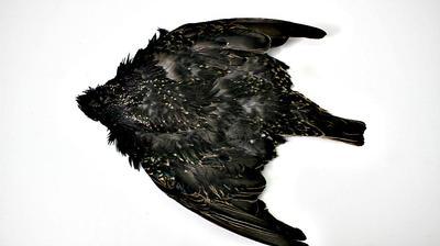 European Starling Skin