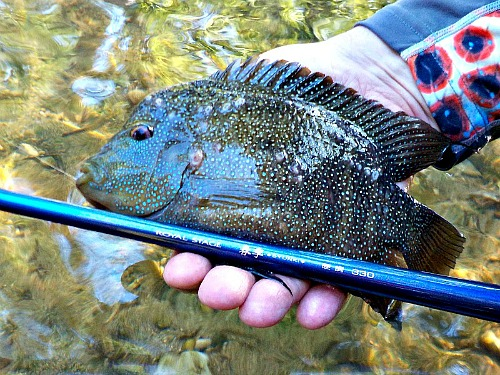 Rod with large chichlid