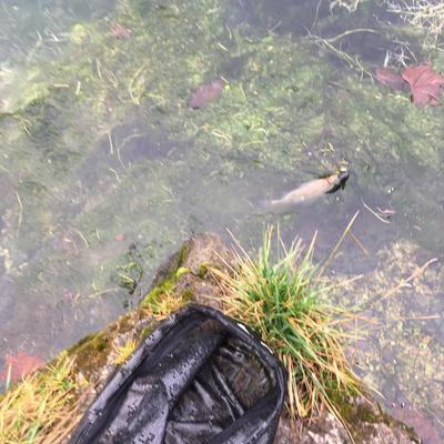 Trout that really didn't want to cooperate in having its picture taken