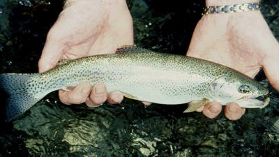 Mountain Stream Rainbow Trout in Hand