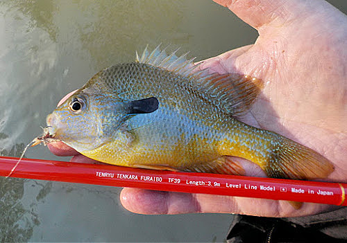 Palm-sized redbreast sunfish and Tenryu Furaibo TF39 tenkara rod.