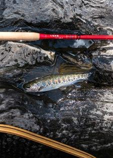 Small redband rainbos caught with Tenryu Furaibo TF39 tenkara rod